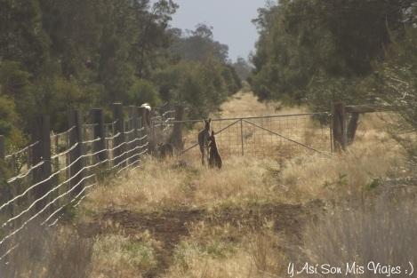A lo lejos una familia de canguros.